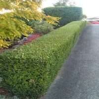 Hedge trimming and shaping of shrubs